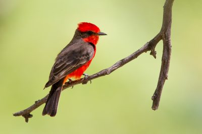 Vermilian Flycatcher (Male1)