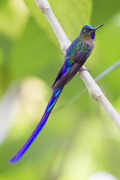 Violet-tailed Sylph (Male) - Tandayapa Lodge, Ecuador2