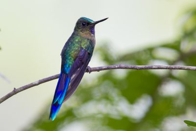 Violet-tailed Sylph (Young Male) - Tandayapa Lodge, Ecuador