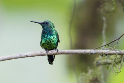 Western Emerald (Male) - Tandayapa Lodge, Ecuador
