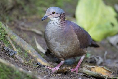 White-throated Quail-dove - Tandayapa Lodge, Ecuador