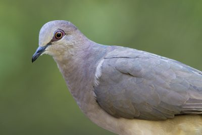 White-tipped Dove (Profile)