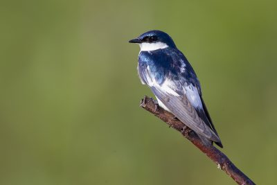 White-winged Swallow1