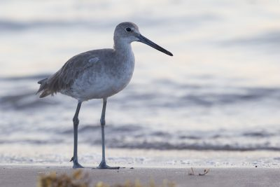 Willet (Non Breeding)
