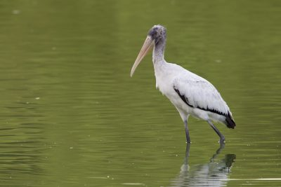 Wood Stork - Sabel Palms1