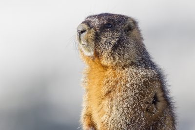 Yellow-bellied Marmot - Rocky Mountains National Park, Colorado