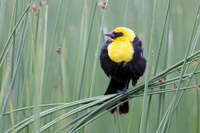 Yellow-headed Blackbird - Yellowstone National Park