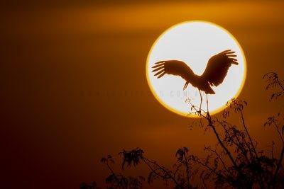 Asian Openbill - Sunset