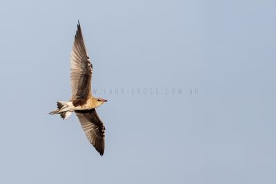 Australian Pratincole - In flight