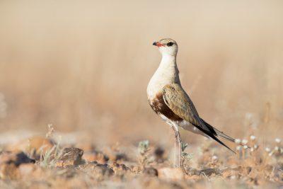 Australian Pratincole (Stiltia isabella) - Simpson Desert, NT