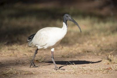Australian White Ibis (Threskiornis moluccus) - Howard Springs Nature Reserve, Darwin