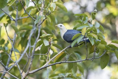 Banded Fruit-dove (Ptilinopus cinctus alligator)6