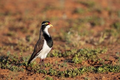 Banded Lapwing (Vanellus tricolor).2