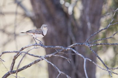 Banded Whiteface (Aphelocephala nigricincta) - Alice Springs, NT