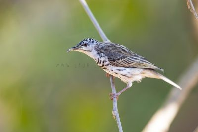 Bar-breasted Honeyeater (Ramsayornis fasciatus).
