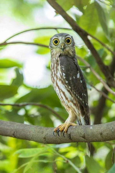 Barking Owl (Ninox connivens peninsularis).2