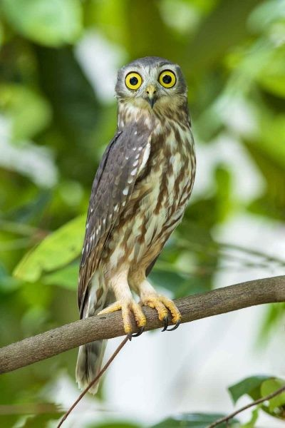 Barking Owl (Ninox connivens peninsularis).3