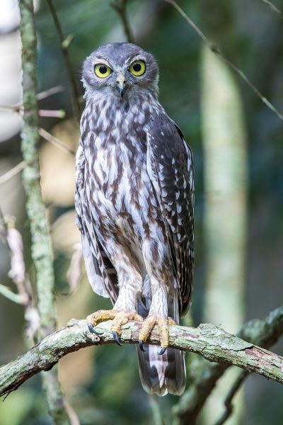 Barking Owl - Portrait
