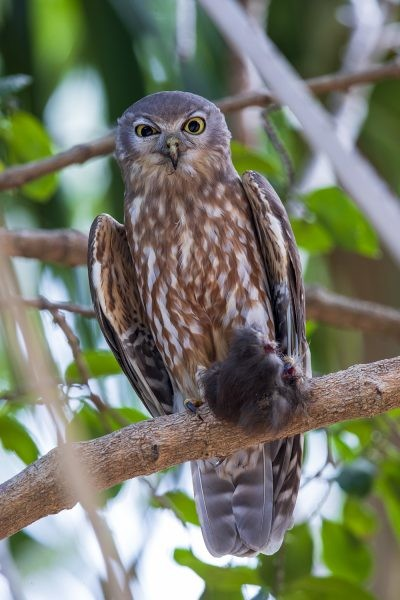 Barking Owl (With Orange-footed Scrub-fowl)
