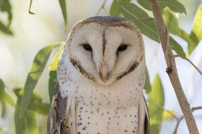 Barn Owl (Head Portrait - Tyto alba delicatula) - TImber Creek, NT