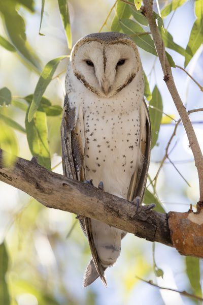 Barn Owl (Tyto alba delicatula) - TImber Creek, NT