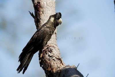 Bauden's Black-Cockatoo (Calyptorhynchus baudinii)