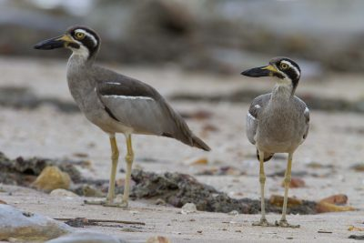 Beach Stone-Curlew (Esacus giganteus) - East Point Darwin, NT
