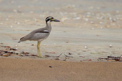 Beach Stone-Curlew (Esacus giganteus) - Gun Point Darwin, NT