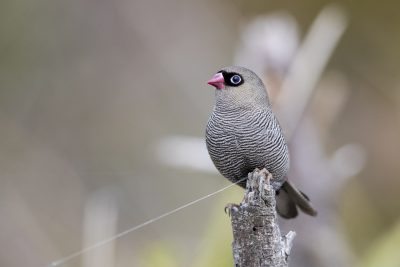Beautiful Firetail (Stagonopleura bella)