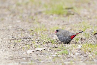 Beautiful Firetail (Stagonopleura bella bella)