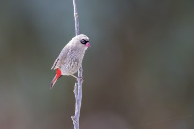 Beautiful Firetail (Stagonopleura bella)1