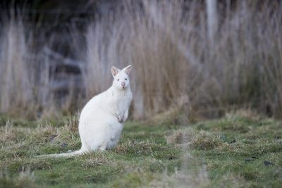 Bennetts Wallaby - Albino