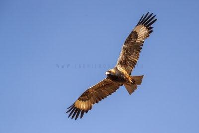 Black-breasted Buzzard - In Flight (Hamirostra melanosternon).1