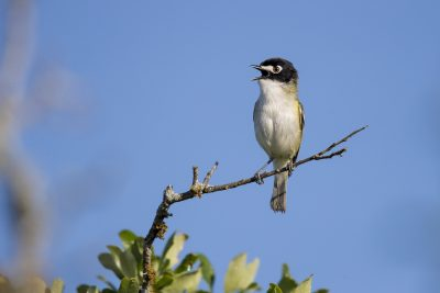 Black-capped Vireo (Vireo atricapilla)