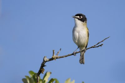 Black-capped Vireo (Vireo atricapilla).