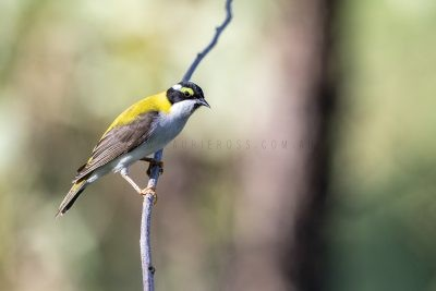 Black-chinned (Golden-backed) Honeyeater (11)