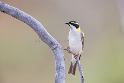 Black-chinned (Golden-backed) Honeyeater (Melithreptus gularis laetior)