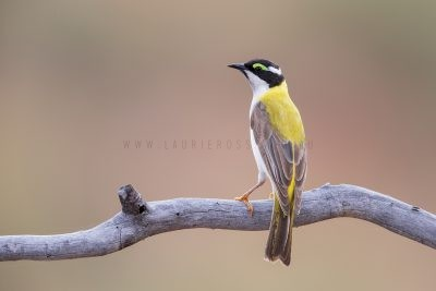 Black-chinned (Golden-backed) Honeyeater (Melithreptus gularis laetior).1