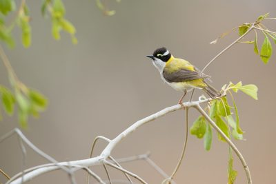 Black-chinned (Golden-backed - Melithreptus gularis laetior) Honeyeater - Top Springs, NT