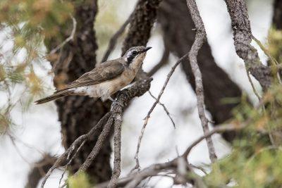 Black-eared Cuckoo (Chrysococcyx osculans)3