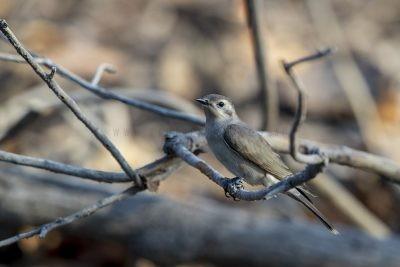 Black-eared Cuckoo - Juvenile (Chalcites osculans)