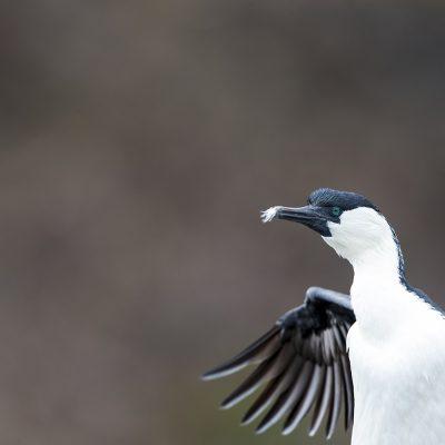 Cormorants, Darters, Boobies Gannets, Frigatebird & Shags