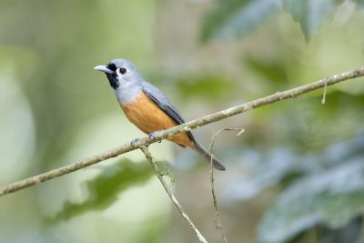 Black-faced Monarch (Monarcha melanopsis)