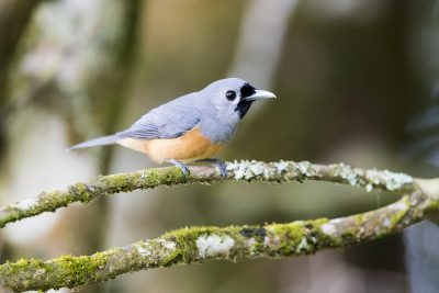 Black-faced Monarch (Monarcha melanopsis)1