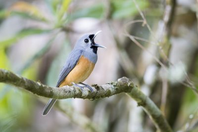 Black-faced Monarch (Monarcha melanopsis)2