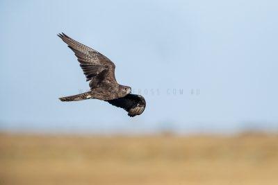 Black Falcon - In Flight