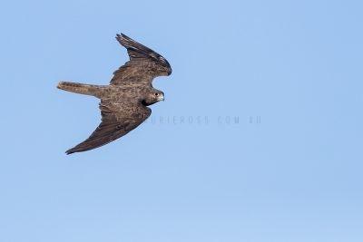 Black Falcon - In flight (Back)