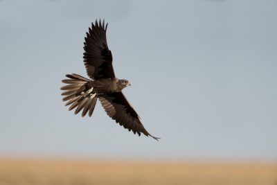 Black Falcon - In Flight (Falco subniger)