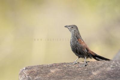 Black Grasswren - Juvenile MaleBlack Grasswren - Adult Female (Amytornis Housei)