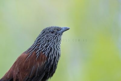 Black Grasswren - Male Portrait (Amytornis housei),